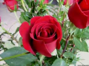 New Beautiful Flowers - beautiful flower wallpaper rose photos images free for