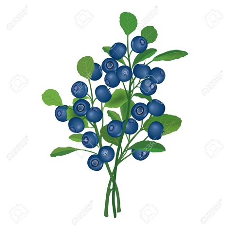blueberry clipart blueberry bushes clipart clipground
