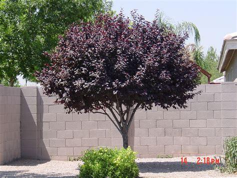 tree question phoenix area trees park single arizona