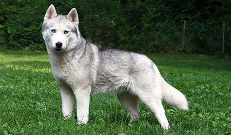 husky coat colors siberian husky coat colors dvshr