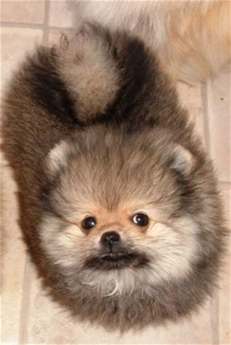 my pomeranian ate chocolate looks just like my kimba when he was a puppy teacup