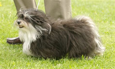 blue havanese blue havanese dogs i want someday my quot blue quot pack