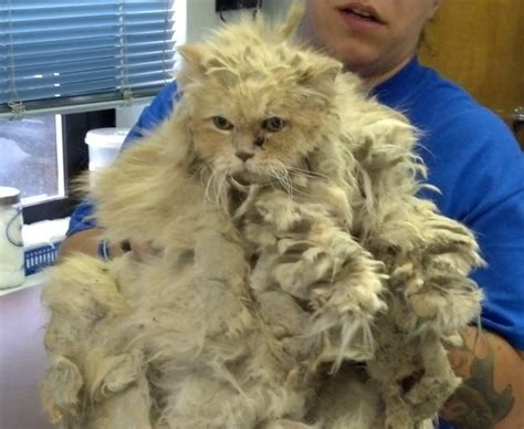 Matted Cat Fur Causes by Matted Cat Hair Gallery