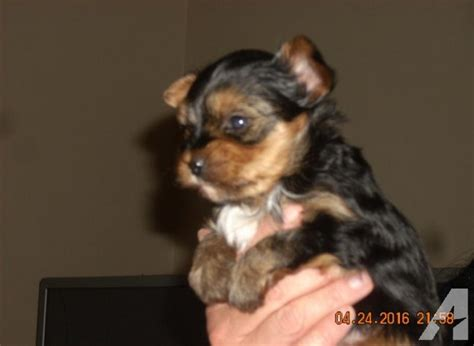 akc yorkie puppies for sale in corona california yorkie puppy for sale akc registered male for sale in