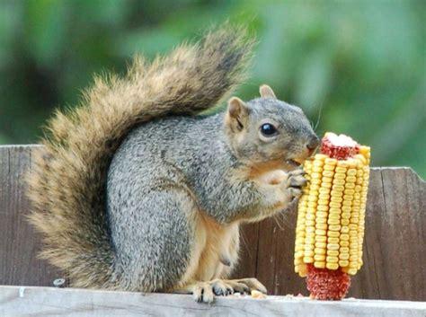 what animal eats squirrels 11478 baidata