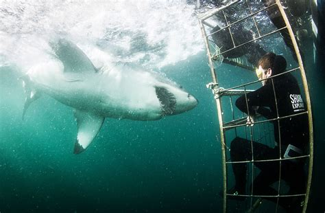 great white shark dive great white shark cage diving in south africa shark cage
