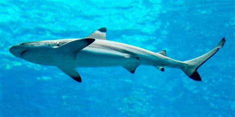 Imagenes Sorprendentes Tiburones   tiburones gu 237 as de especies im 225 genes y recursos