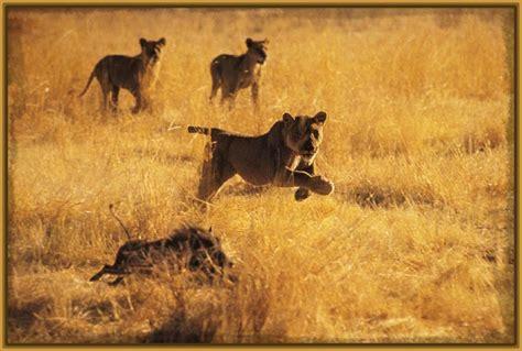 imagenes de leones salvajes related keywords suggestions for leones cazando jabali
