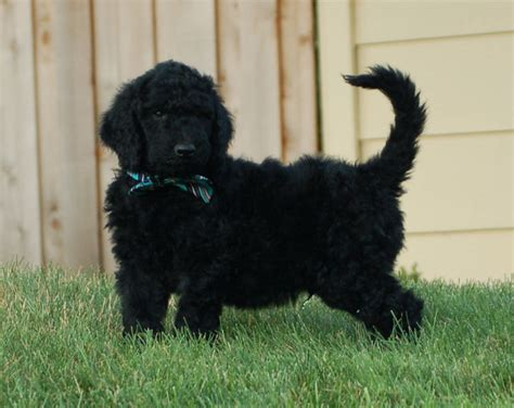 doodle puppies for sale in oregon f1b goldendoodle puppy for sale portland oregon