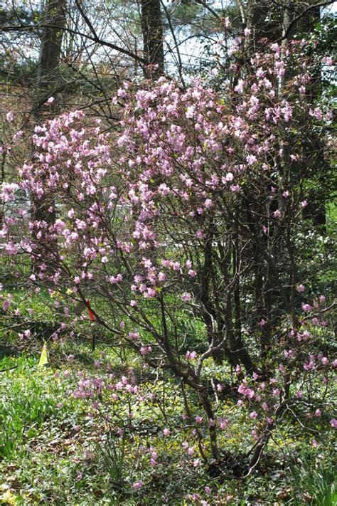 flowering deciduous shrubs deciduous flowering shrubs monheim