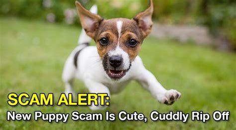 puppy scams scam alert new puppy scam is cuddly rip