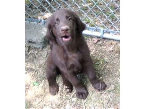 flat coated golden retriever puppies for sale flat coated retriever for sale dogs our friends photo