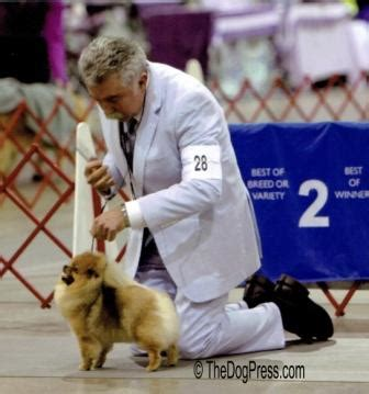 starfire pomeranians ringer pom akc notified of pomeranian substitution