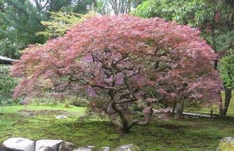 crimson queen japanese maple bing images