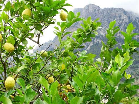 quando e come potare il limone in vaso 82 pianta limone informazioni e potatura coltivarla