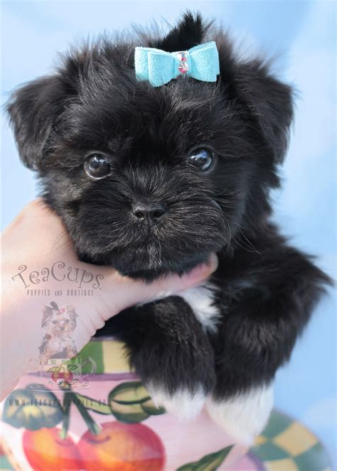 shih tzu puppies south florida adorable shih tzu puppies for sale teacups