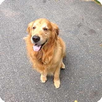 golden retrievers in ct cheshire ct golden retriever meet fenway and a for adoption
