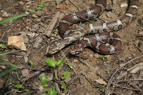 eastern milk snakes monroe co indiana flickr photo