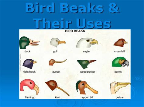 what do cracker beak birds eat bird beaks their uses authorstream