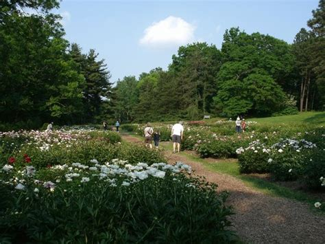 Botanical Gardens Michigan by Peony Festival Prize Winning And Vintage Flowers Picture
