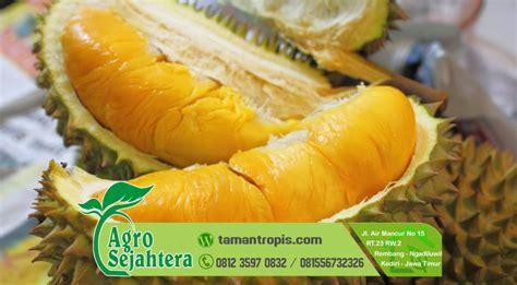 Bibit Durian Musang King Siap Buah jual bibit durian unggul jenis musang king monthong bawor