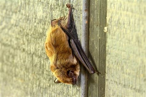 Bats In Backyard by The Benefits Of Bats In The Garden Hgtv