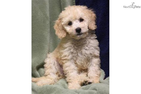 f1b mini goldendoodle puppies for sale f1b mini goldendoodles for sale meet a goldendoodle puppy for sale for 1 200