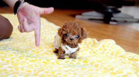 micro poodle puppy tiny micro teacup poodle puppy so teacup poodle