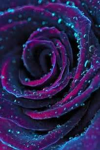 Dark Purple Roses Purple Rose Color Inspiration Pinterest