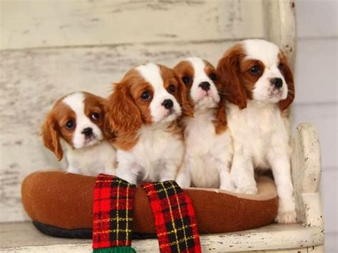average puppy litter average size of dachshund litter dogs in our photo