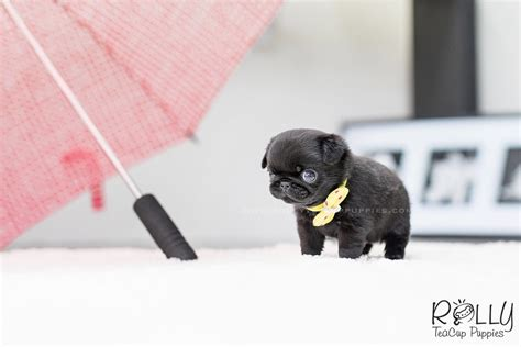 teacup pug for sale near me sold to clair buddy pug m rolly teacup puppies