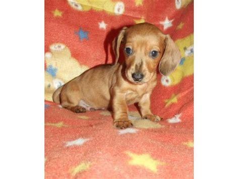 miniature haired dapple dachshund puppies for sale miniature smooth haired dachshund puppies for sale puppies for sale