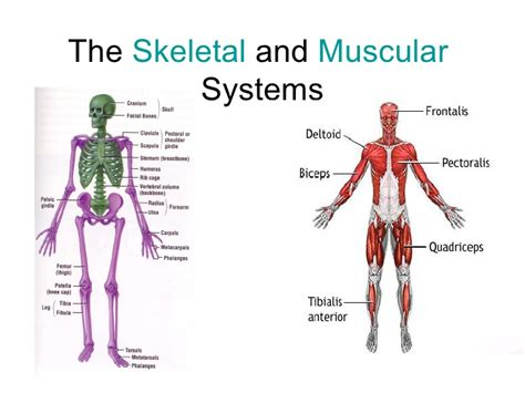 A Tour Of Your Muscular And Skeletal Systems skeletal system