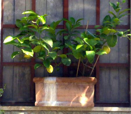 cura limone in vaso limoni piante albero piante pianta di limone stagioni in
