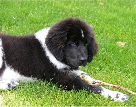 newfoundland puppies cost black and white newfoundland pup on the grass jpg hi res 720p hd