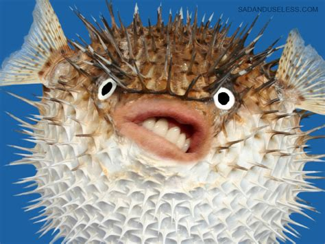 puffer fish new important thing puffer fish with s