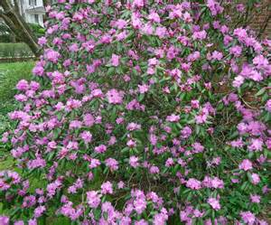 file bush with purple flowers summit nj jpg wikimedia