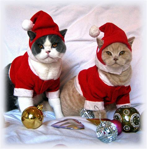 images of christmas cats cute christmas cats awesome wallpapers