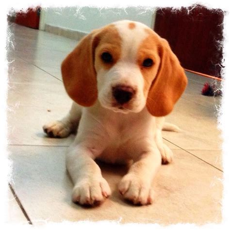 lemon beagle puppies beagle lemon cutee animals