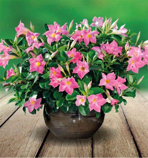 sundaville fiore dipladenia diamantina 174 plante en ligne