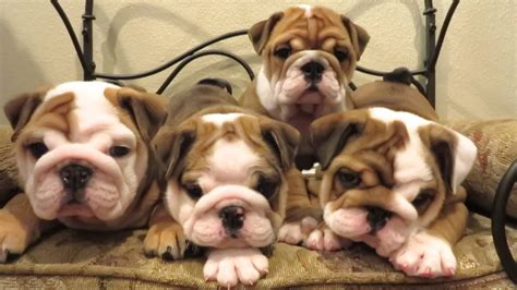 bulldogs puppies cutest bulldog puppies they will melt your pawbuzz