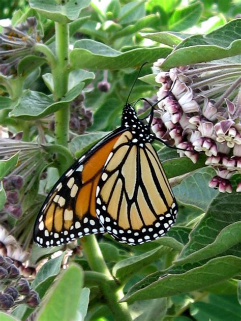 """Asclepias cancellata """"Milkweed"""" - Buy Online at Annie's ... Asclepias Cancellata"""