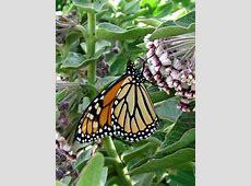 """Asclepias cancellata """"Wild Cotton"""" """"Milkweed"""" - Buy Online ... Asclepias Cancellata"""
