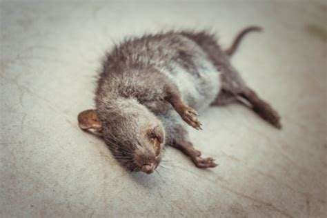 dead rat smell how to get rid of dead rat smell solutions pest lawn