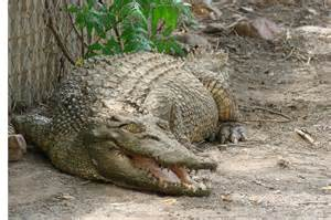 Croc attack in the Kimberley. 04 Feb 2009. Rural Online ...