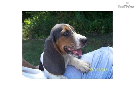 basset hound puppies for sale in arkansas basset hound for sale for 750 near jonesboro arkansas 9b5b3f66 b3d1