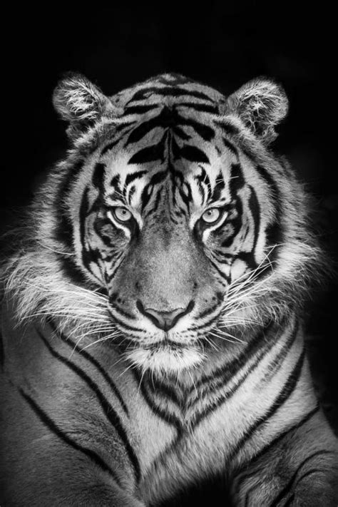 Black and white tiger   tattoo ideas   Pinterest   Tigers