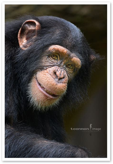 smile chimpanzee  colloquially chimp   flickr