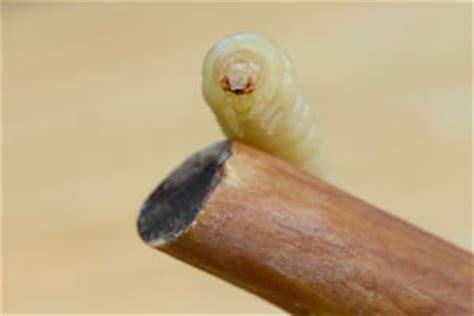 fliegenlarven in der wohnung maden in biotonne loswerden was tun