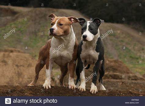 amstaff puppy american staffordshire terrier brown www pixshark images galleries with a bite